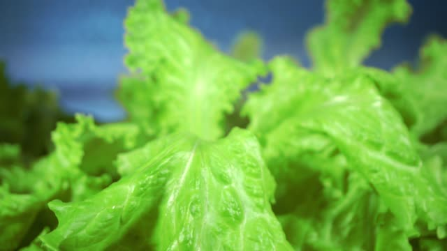 Lettuce in greenhouse hydroponics