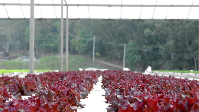 lattuga in serra idroponica - stelo video stock e b–roll