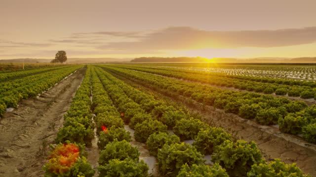 vídeos de stock, filmes e b-roll de plantas de alface ds crescendo nos campos ao nascer do sol - estilo de vida dos abastados