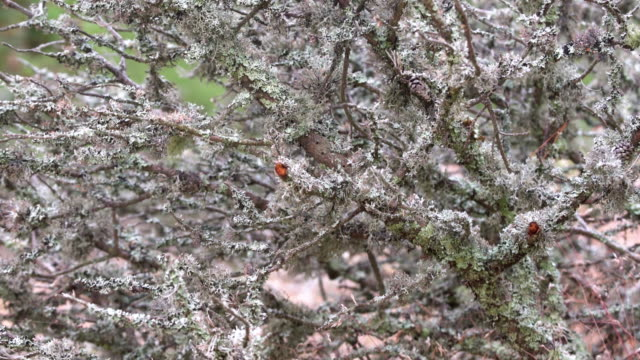 Lichen growing on tree branch in the forest. Grey moss on old tree trunks moving in wind outdoors