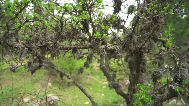 Lichen on tree branches in natural forest
