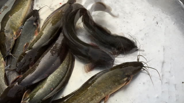 life catfish sell in market - siluriformes video stock e b–roll