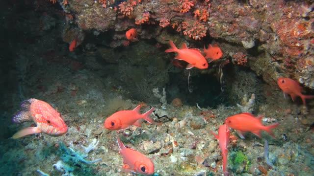 life in the underwater cave -  indian ocean, maldives, asia - морской окунь стоковые видео и кадры b-roll