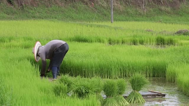 Lifestyle of Asian concept. Farmers farming on meadow terraces. Farmers doing rice farming in rice terraces.