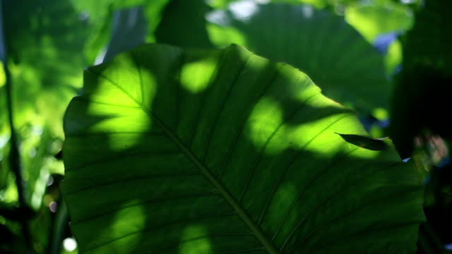 Light and shadow on caladium leaves in the tropical rain forest video