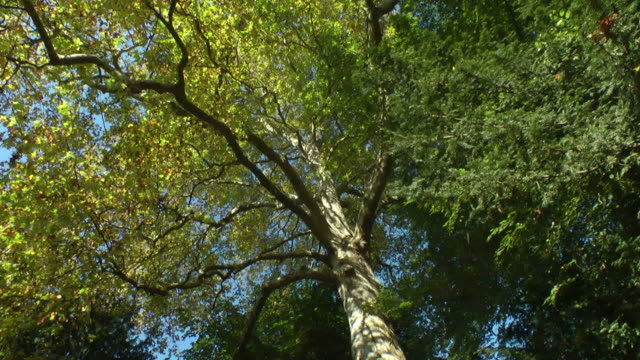 Light breeze under a green tree canopy, looking up video