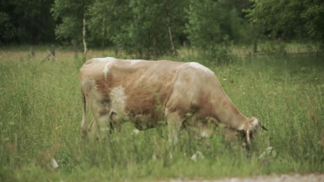 Light brown cow grazing on a pasture in tall grass