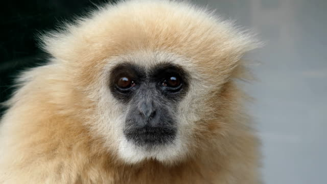 Light brown gibbon monkey face close up
