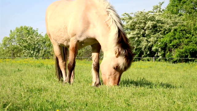 light brown horse eating grass on meadow close up - sella video stock e b–roll