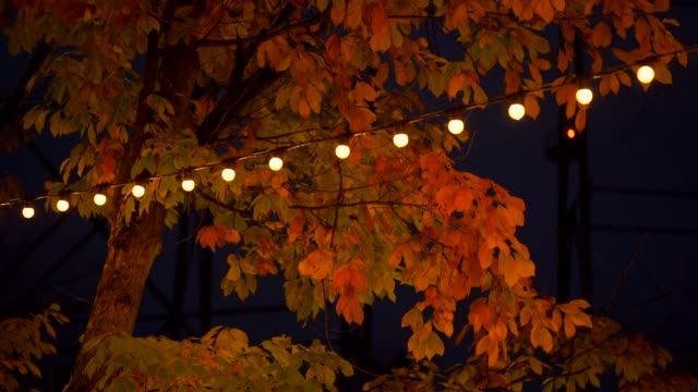Light up at night, Autumn at Japan, Maple is change the color to seasonal at november and leaf lighted up by sunshine in the garden.