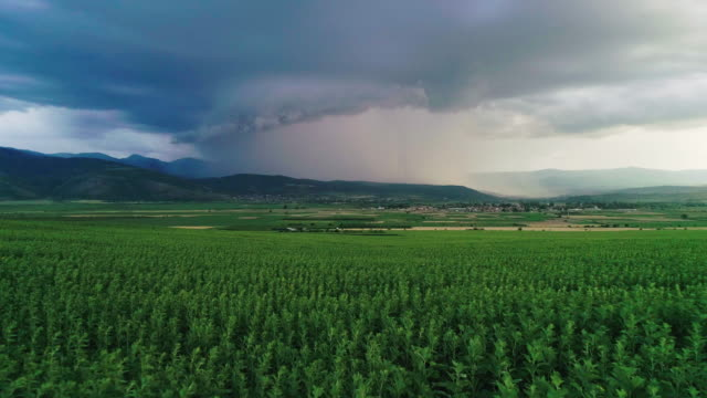 Lightning strikes in the sky. Aerial view of thunders from a big storm cloud over sunflower field. Thunderstorm coming closer.