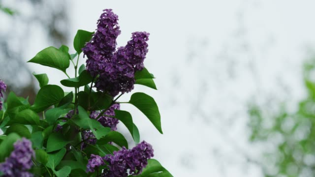 A Lilac Bush in Spring under an Overcast Sky