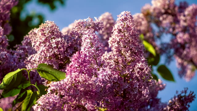 Lilac bushes in full bloom in the spring, blue sky video