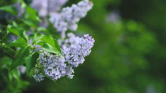 Lilac bushes in full bloom in the spring