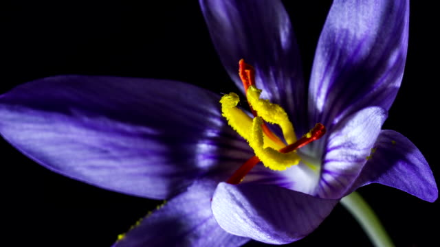 lilac crocus with yellow stamen blooms video