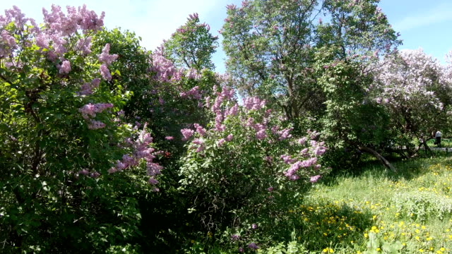 Lilac garden in Moscow