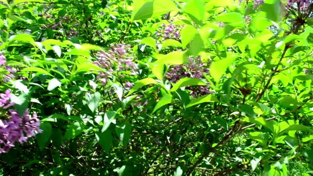 stockvideo's en b-roll-footage met lila in het voorjaar - vachtpatroon