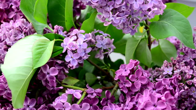 Lilac in the spring Lilac bush animal markings stock videos & royalty-free footage