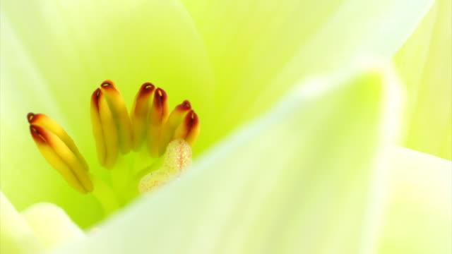 lili Macro blooming