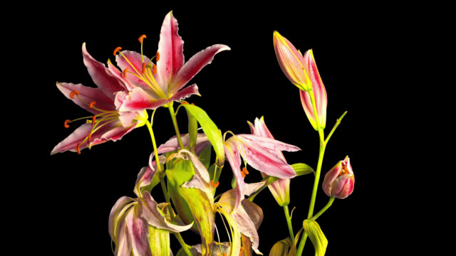 Lilies bloom and fade, time-lapse with alpha channel