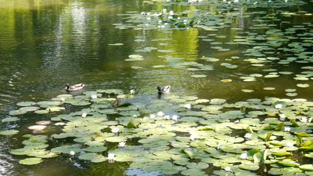 Lilien auf dem See. – Video