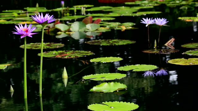 (HD) Lilly Pond selective focus