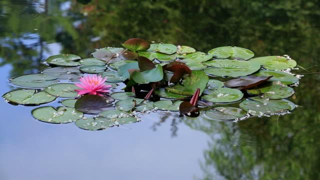 (HD) Lilly Pond