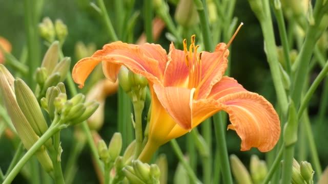 lily çiçek bahçesinde - üreme organı stok videoları ve detay görüntü çekimi