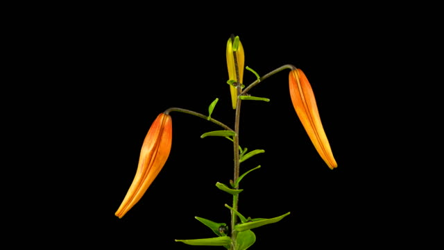 Lily flower is blooming. Isolated on black background. Time lapse