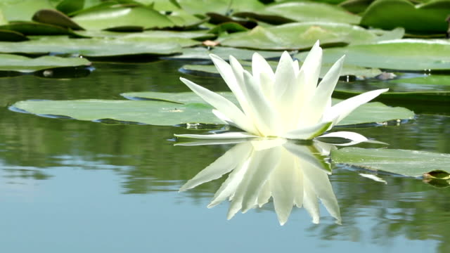 Lily Flower on the Lake video
