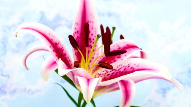 lilia kwiat - lilia filmów i materiałów b-roll