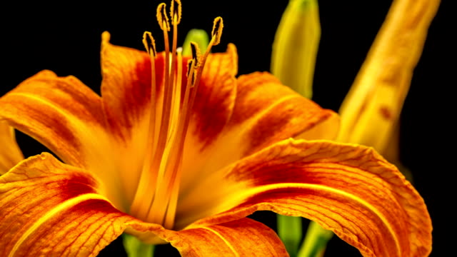 Lily Flower video