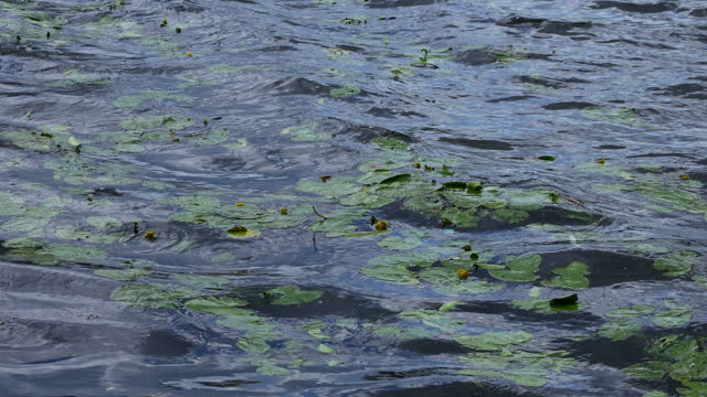 Lily leaves on the water surface of the river. video