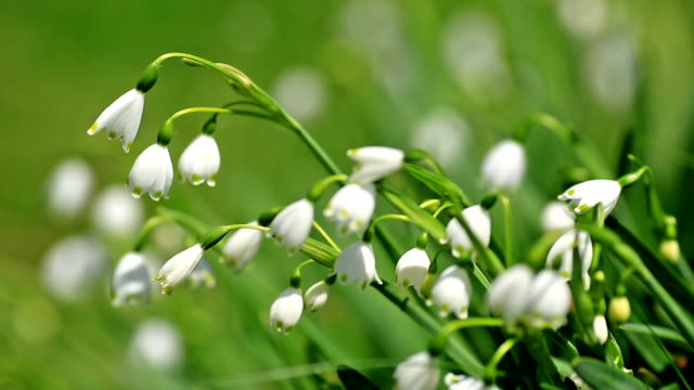 Lily of the valley flower are swaying in a strong wind. video
