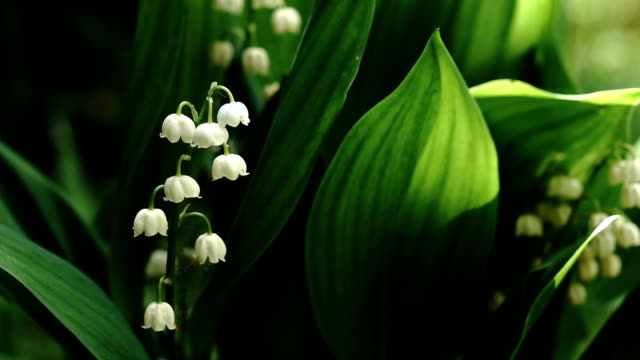 Lily of the valley flowers close-up outdoors video