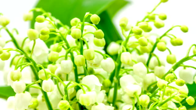 Lily of the valley growing timelapse video