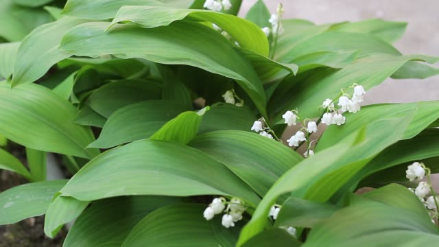 Lily of the valley video