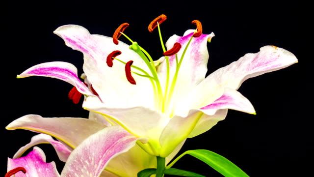 Lily Oriental Gracia