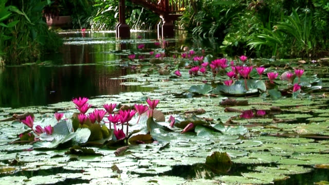 Lily pond background video