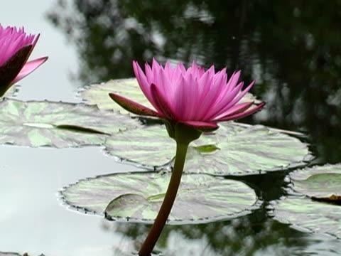 lily pond  - staw woda stojąca filmów i materiałów b-roll