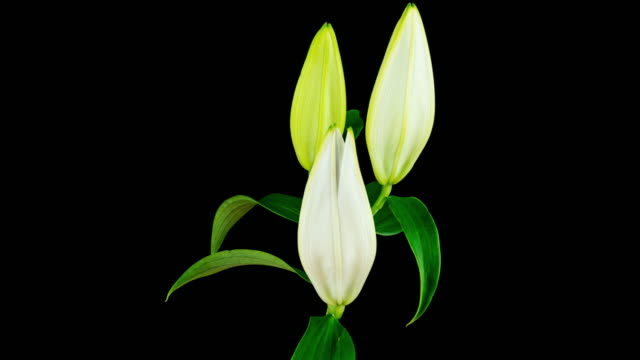 Lily White Blooming (4k) video