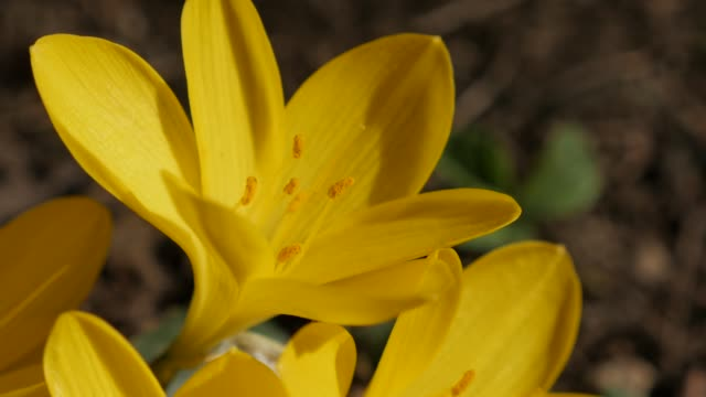 vídeos de stock, filmes e b-roll de lily-of-the-field close-up detalha vídeo 4k - flor temperada