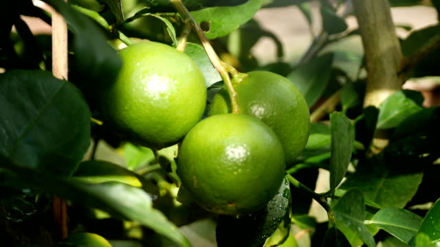 lime fruit wait for harvested video