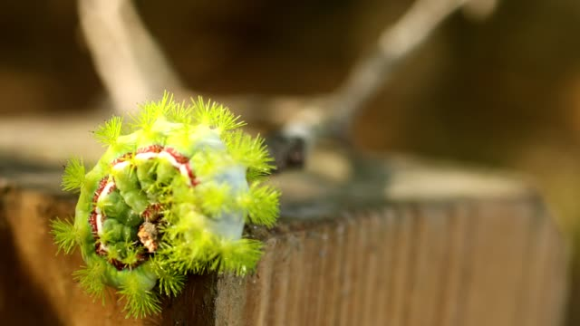 Lime green io larva crawling on a fence post video
