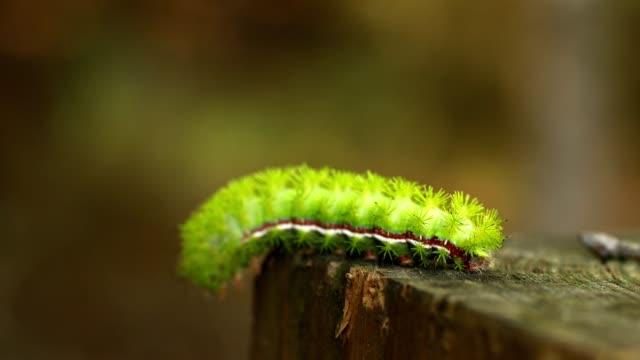 stockvideo's en b-roll-footage met lime groene io larve kruipen op een omheining post - rups