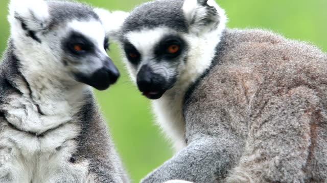 limurs family - lemur bildbanksvideor och videomaterial från bakom kulisserna