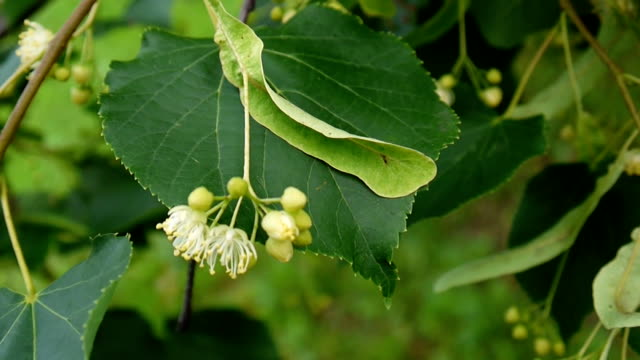 Linden leaves and flowers with wind blowing close up. Tilia video