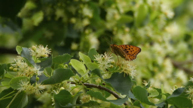 linden tree - farfalla ramo video stock e b–roll