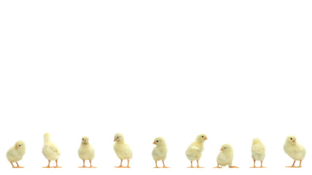 Line of chick standing video