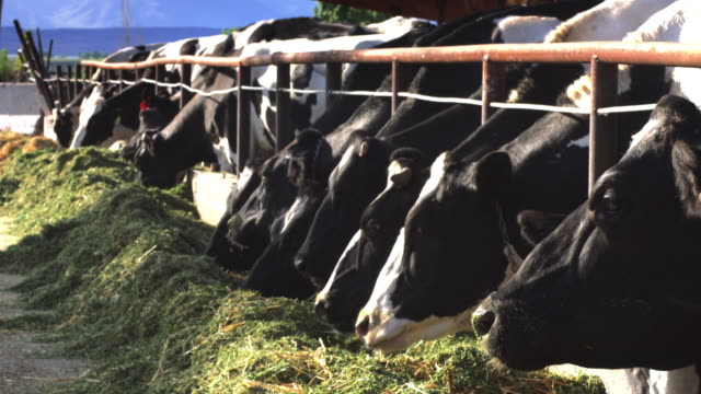 Line of Dairy Cows Eating from Pile of Hay video